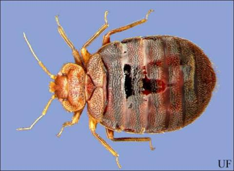 Picture-of-bed-bug-2